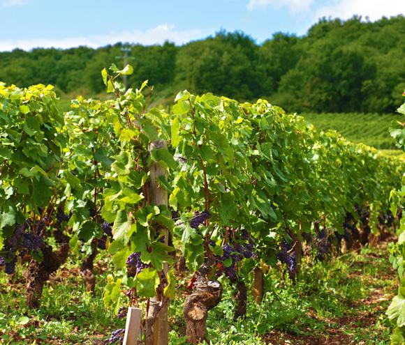 Autorisation de plantation, vignes